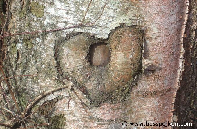 Trollhättan birch.